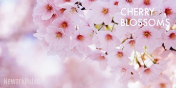 Cherry Blossom Festival 2017 at Branch Brook Park